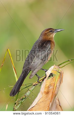 Female Boat-tailed Grackle (quiscalus Major)