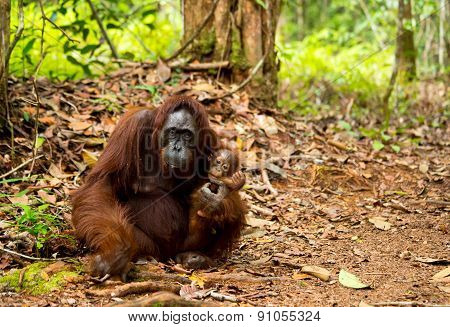Lovely mother and baby orangutan.