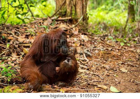 Mother orangutan holding her baby in Borneo forest