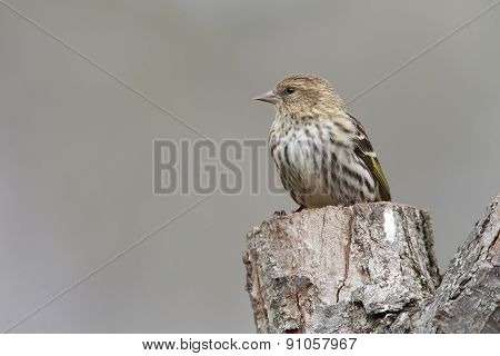 Pine Siskin Perched On A Tree Stump