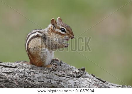 Eastern Chipmunk Sitting On A Fallen Log