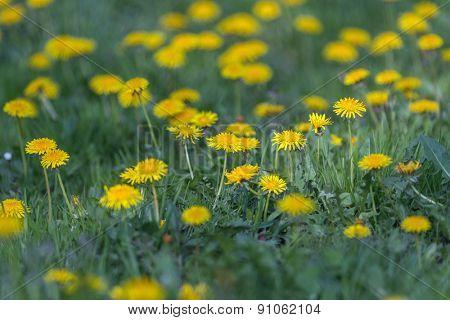 yellow dandelions field close up