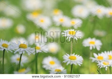 meadow of chamomile close up