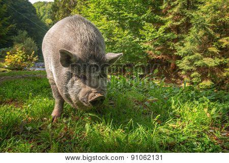 big pig in forest closeup