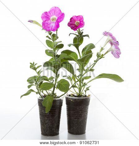 Seedlings Petina