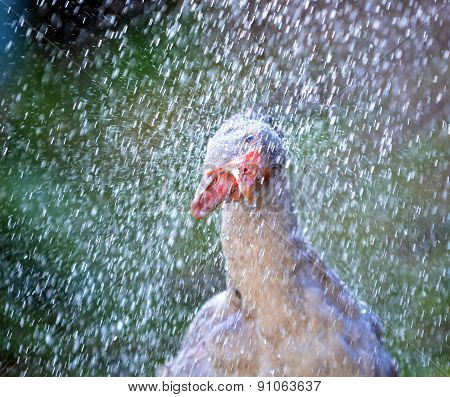 Goose Standing In A Shower