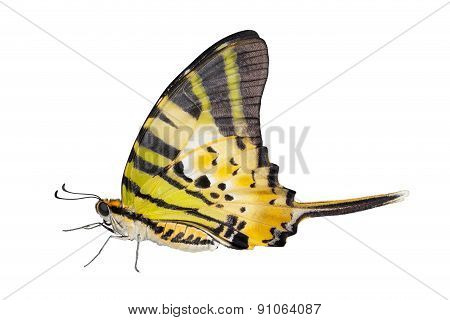 Isolated Five Bar Butterfly On White