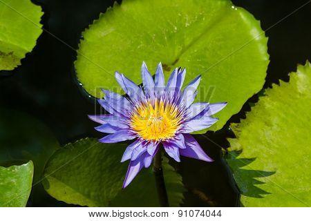 Purple Lotus Flower Or Water Lily Flowers.