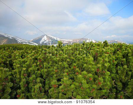 Mountain pine, Carpathian Mountains, Ukraine, Europe.