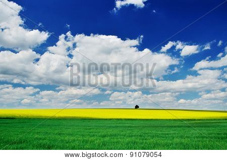 Alone Tree on yellow and green spring field