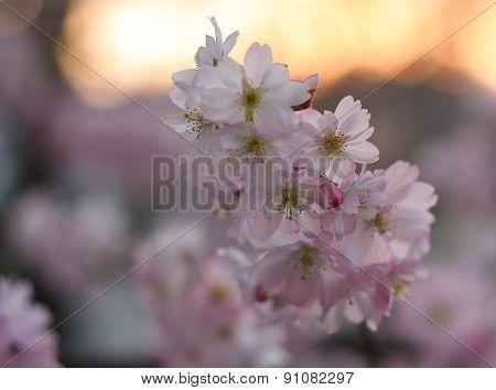 Sakura cherry flower (Prunus serrulata)