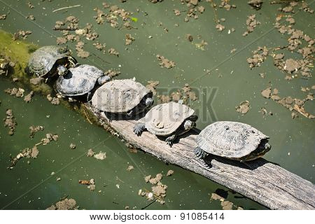Red-eared Slider (trachemys Scripta Elegans) - Group Of Turtles Is Heated On The Wood