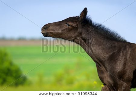 Black foal portrait