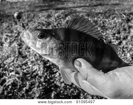 Freshly caught perch in the hands of the fisherman