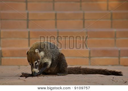 Coati eating a cupcake.
