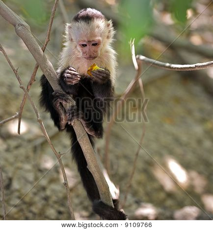 Wild Capuchin Monkey.