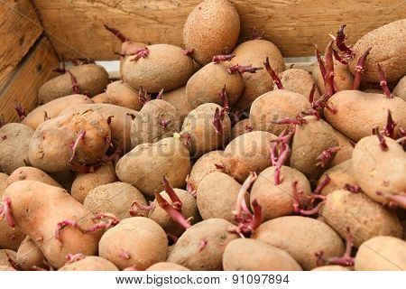 Sprouting Potato Tubers In Wooden Box