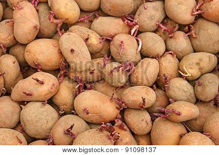 Pile Of Potato Tubers Germinated Sprouts