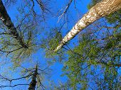 pic of birching  - Three big birch trees on the background of the spring sky  - JPG
