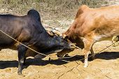 pic of cow  - Fighting cow attacks on battle field Traditional cow fighting - JPG