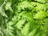 image of gout  - The leaves of the plant Aegopodium Podagraria closeup - JPG