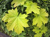 foto of distort  - Green maple leaves close up with wide angle distortion view - JPG