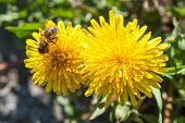 stock photo of won  - Macro close up shots of yellow dandelion flowers won a sunny day - JPG