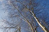 picture of birching  - Silver birch trees in winter against a blue sky  - JPG