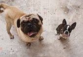 image of pug  - Photograph of a Boston Terrier puppy dog and a pug on a concrete floor  - JPG