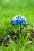 stock photo of hydrangea  - Hortensia Hydrangea Macrophylla typical flower of azores - JPG