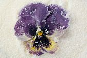 foto of candy  - Candied sugared violet flowers - JPG