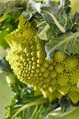 foto of romanesco  - Romanesco broccoli - JPG