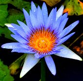 pic of water lily  - Water lilies growing in a huge lagoon near Upper Colo NSW - JPG