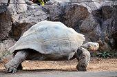 image of tortoise  - Giant Big Galapgos Earth Tortoise Turtle on the Floor - JPG