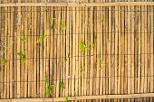 stock photo of climber plant  - Natural Bamboo Wall With Growing Plants  - JPG