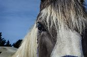 picture of horse face  - horses eye - JPG
