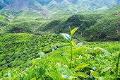 stock photo of cameron highland  - Tea plantation for travel at Cameron highlands - JPG