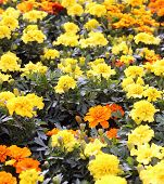 foto of carnation  - carnation and Chrysanthemum cultivation in the greenhouse of the farmer - JPG