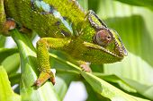foto of chameleon  - Closeup of a chameleon among the leaves of a tree - JPG