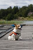 stock photo of corgi  - a white welsh corgi dressed for safety - JPG