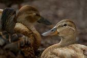 pic of gadwall  - Female Duck  - JPG