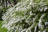 picture of naturalist  - white flowering shrub in the young naturalists station - JPG