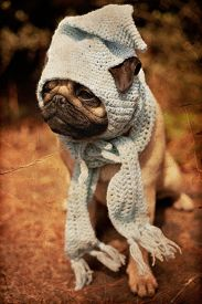 picture of gnome  - Beautiful male pug puppy dog sitting on a tree log in the sunshine with a blue scarf and a gnome hat - JPG