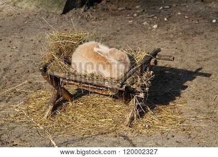 rabbit in the manger