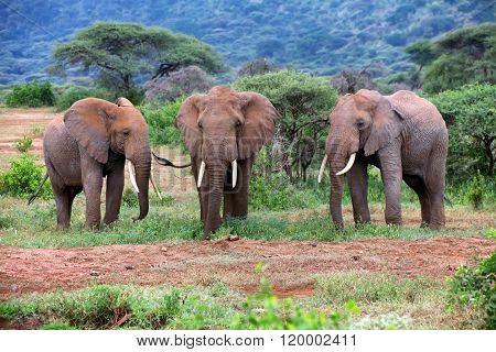 Beautiful Elephants At Tarangire National Park Tanzania