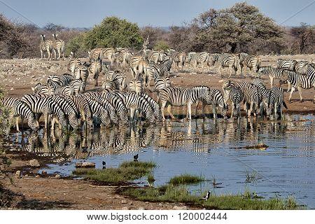 Herd Of Zebras Drinking In A Waterhole A Etosha National Park Namibia