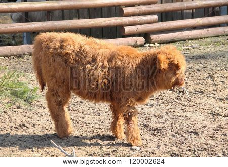 calf of highland cattle