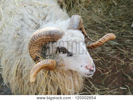 portrait of male sheep