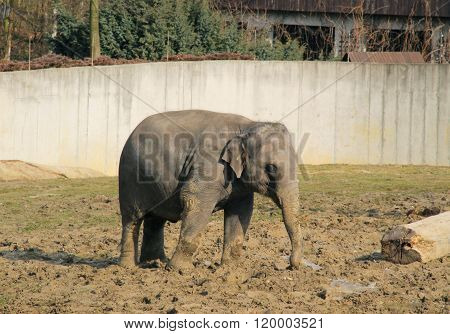 playful young elephant
