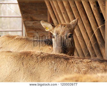shy milu deer